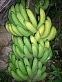 Robusta banana 002.jpg