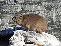 Rock Hyrax Table Mountain.jpg