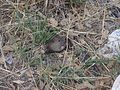 Rodent in Guadalupe Mountains National Park.JPG