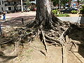 Roots of tree near Fort Zeelandia.JPG