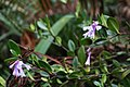 Roraima Psychotria concinna.JPG