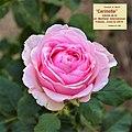 "Rosa ""Carinella"". 02.jpg"