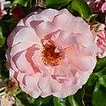 "Rosa ""Fritz Nobis"". 03.jpg"