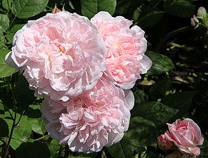 Rosa Heritage 1 RF.jpg