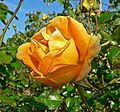 Rosa Lady Forteviot 1.jpg