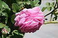 Rosa Louise Odier 3zz.jpg