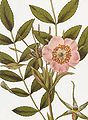 Rosa macrophylla RHS.jpeg