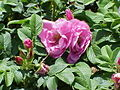 Rosa sp.110.jpg