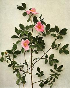 Rosa virginiana WFNY-102.jpg