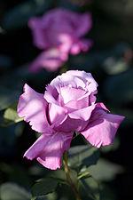 Rose, Charles de Gaulle - Flickr - nekonomania.jpg