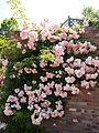 Rose, Tausendschön, バラ, タオゼントシェーン, (10744175473).jpg