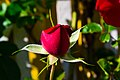 Rose (9303838054).jpg
