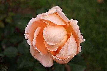 Rose Abbaye de Cluny 20070601.jpg