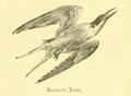 Roseate Tern 1891.png