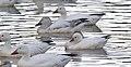 Ross's Goose (49657526907).jpg
