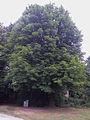 Rosskastaniebaum, Götzendorf an der Leitha 02.jpg