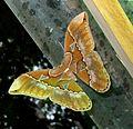 Rothschildia species. ( o.orizaba or h.hesperus^) Saturniidae - Flickr - gailhampshire.jpg