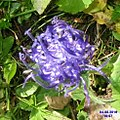 Round-headed rampion (31113938264).jpg