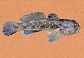 Round goby on brown background.jpg