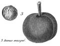 Rozier - Cours d'agriculture, tome 8, pl. 31, damas musqué.png