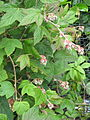 Rubus Rushbrook Red Leaf (18471391974).jpg