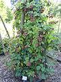 Rubus pannosus - Botanischer Garten, Frankfurt am Main - DSC02491.JPG