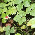 Rubus pedatus (Mount Hijiri s2).JPG