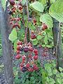 Rubus schnedleri - Botanischer Garten, Frankfurt am Main - DSC02497.JPG