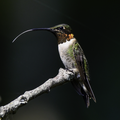 Ruby-Throated Hummingbird.png