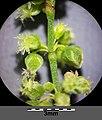 Rumex acetosella subsp. acetosella sl2.jpg
