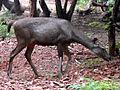 Rusa unicolor Sambar deer IGZoo Visakhapatnam (1).JPG