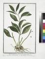 Ruscus latifolius fructu folio innascente - Lauro Alessandrino - Laurier alexandrin (NYPL b14444147-1124937).tiff