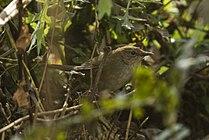 Russet Bush-Warbler - Arunachal Pradesh - India FJ0A8771 (34262514506).jpg