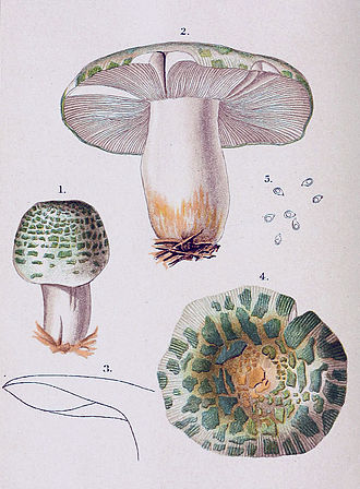 Louis Charles Christopher Krieger - Krieger's illustration of Russula virescens, from Thomas Taylor's 1898 work Student's Hand-book of Mushrooms of America Edible and Poisonous
