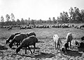 SHEPHERDS TAKING THEIR SHEEP TO THE PASTURE AT KIBBUTZ GIVAT HAIM. רועה צאן בקיבוץ גבעת חיים בעמק חפר.D393-117.jpg