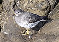 SURFBIRD (11-5-09) northpoint, morro bay, slo co, ca -08 (4079038318).jpg