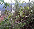 Sage-Leaved (Alangium salviifolium) trees with fruits at Bakkannapalem 02.jpg