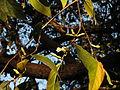 Sage-Leaved Alangium 10.JPG