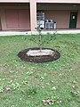 Saitama University, Japan - Newton's apple tree2.jpg