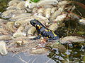 Salamander Feuersalamander.jpg