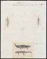 Salamandra taeniata - 1700-1880 - Print - Iconographia Zoologica - Special Collections University of Amsterdam - UBA01 IZ11400119.tif