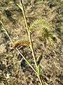 Salix purpurea sl39.jpg
