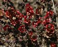 Salsola marujae (Brusca) - Flickr - S. Rae.jpg