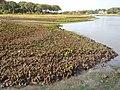 Salt marsh die-off in saquatucket.jpg