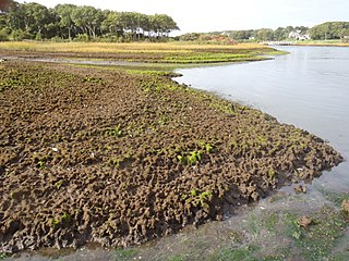 Salt marsh die-off Ecological disaster in low-elevation salt marshes
