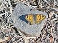 Saltacercas hembra - Lasiommata megera - Montes de Málaga.JPG