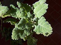 Salvia desoleana g2