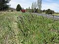 Salvia verbenaca habit1 ST (15937782909).jpg