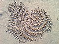 Sand pills made by crabs at Bheemunipatnam Beach 01.jpg