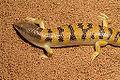 Sandfish skink 4.JPG